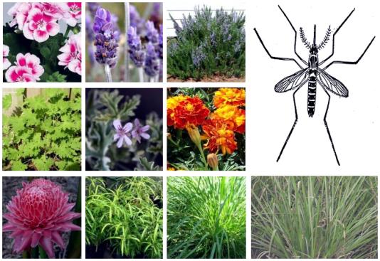 Ini Dia Ragam Tanaman Herbal Alami Pengusir Nyamuk DBD